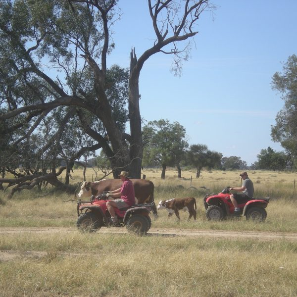 Mustering The Cattle
